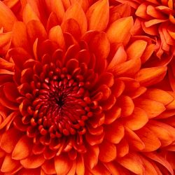 Chrysanthemum
